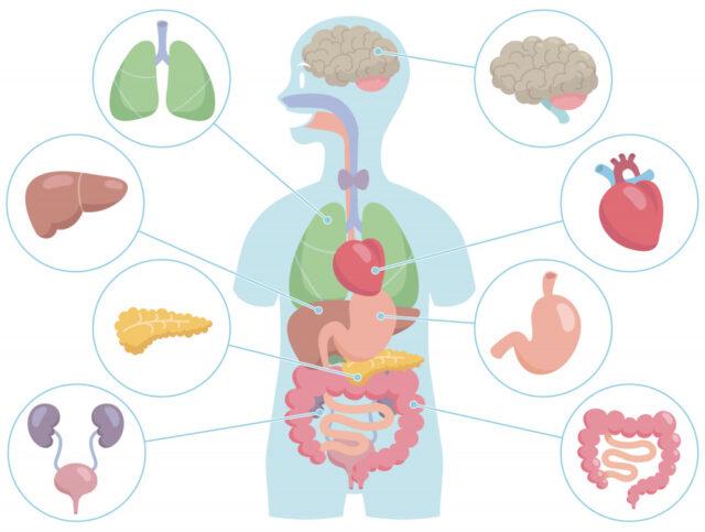 内臓の働きが元気になり、血液やリンパ液の循環を促進する。